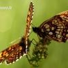 Melitaea diamina - Tamsioji šaškytė | Fotografijos autorius : Alma Totorytė | © Macrogamta.lt | Šis tinklapis priklauso bendruomenei kuri domisi makro fotografija ir fotografuoja gyvąjį makro pasaulį.