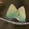 Callophrys rubi - Žalsvasis varinukas | Fotografijos autorius : Lukas Jonaitis | © Macrogamta.lt | Šis tinklapis priklauso bendruomenei kuri domisi makro fotografija ir fotografuoja gyvąjį makro pasaulį.