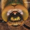 Cordulia aenea - Bronzinė skėtė | Fotografijos autorius : Lukas Jonaitis | © Macrogamta.lt | Šis tinklapis priklauso bendruomenei kuri domisi makro fotografija ir fotografuoja gyvąjį makro pasaulį.