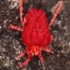 Trombidium holosericeum - Aksominė erkė | Fotografijos autorius : Lukas Jonaitis | © Macrogamta.lt | Šis tinklapis priklauso bendruomenei kuri domisi makro fotografija ir fotografuoja gyvąjį makro pasaulį.