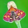 Mėtinė pyrausta - Pyrausta purpuralis  | Fotografijos autorius : Lukas Jonaitis | © Macrogamta.lt | Šis tinklapis priklauso bendruomenei kuri domisi makro fotografija ir fotografuoja gyvąjį makro pasaulį.