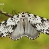 Lymantria monacha - Vienuolis verpikas | Fotografijos autorius : Lukas Jonaitis | © Macrogamta.lt | Šis tinklapis priklauso bendruomenei kuri domisi makro fotografija ir fotografuoja gyvąjį makro pasaulį.