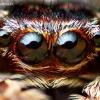 Žiedinis dėmėtšoklis - Sitticus floricola | Fotografijos autorius : Lukas Jonaitis | © Macrogamta.lt | Šis tinklapis priklauso bendruomenei kuri domisi makro fotografija ir fotografuoja gyvąjį makro pasaulį.
