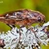Didysis blizgiavabalis - Chalcophora mariana | Fotografijos autorius : Lukas Jonaitis | © Macrogamta.lt | Šis tinklapis priklauso bendruomenei kuri domisi makro fotografija ir fotografuoja gyvąjį makro pasaulį.