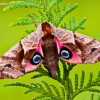 Akiuotasis sfinksas - Smerinthus ocellatus | Fotografijos autorius : Lukas Jonaitis | © Macrogamta.lt | Šis tinklapis priklauso bendruomenei kuri domisi makro fotografija ir fotografuoja gyvąjį makro pasaulį.