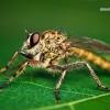Tolmerus cingulatus - Plėšriamusė | Fotografijos autorius : Lukas Jonaitis | © Macrogamta.lt | Šis tinklapis priklauso bendruomenei kuri domisi makro fotografija ir fotografuoja gyvąjį makro pasaulį.