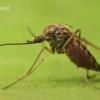 Culicidae - Tikrasis uodas | Fotografijos autorius : Lukas Jonaitis | © Macrogamta.lt | Šis tinklapis priklauso bendruomenei kuri domisi makro fotografija ir fotografuoja gyvąjį makro pasaulį.