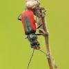 Malachius aeneus - Žaliasis pūsliavabalis | Fotografijos autorius : Lukas Jonaitis | © Macrogamta.lt | Šis tinklapis priklauso bendruomenei kuri domisi makro fotografija ir fotografuoja gyvąjį makro pasaulį.