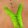 Akiuotasis sfinksas - Smerinthus ocellatus (Vikšrai) | Fotografijos autorius : Lukas Jonaitis | © Macrogamta.lt | Šis tinklapis priklauso bendruomenei kuri domisi makro fotografija ir fotografuoja gyvąjį makro pasaulį.