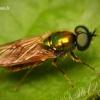 Chloromyia formosa - Plokščiamusė | Fotografijos autorius : Lukas Jonaitis | © Macrogamta.lt | Šis tinklapis priklauso bendruomenei kuri domisi makro fotografija ir fotografuoja gyvąjį makro pasaulį.