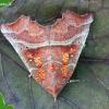 Scoliopteryx libatrix - Gluosninis žieminukas | Fotografijos autorius : Lukas Jonaitis | © Macrogamta.lt | Šis tinklapis priklauso bendruomenei kuri domisi makro fotografija ir fotografuoja gyvąjį makro pasaulį.