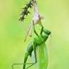 Žiogas - Tettigoniidae sp.  | Fotografijos autorius : Lukas Jonaitis | © Macrogamta.lt | Šis tinklapis priklauso bendruomenei kuri domisi makro fotografija ir fotografuoja gyvąjį makro pasaulį.
