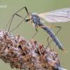 Tipulidae - Ilgakojis uodas | Fotografijos autorius : Arūnas Eismantas | © Macrogamta.lt | Šis tinklapis priklauso bendruomenei kuri domisi makro fotografija ir fotografuoja gyvąjį makro pasaulį.