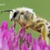 Dasypoda altercator - Gauruotakojė bitė | Fotografijos autorius : Arūnas Eismantas | © Macrogamta.lt | Šis tinklapis priklauso bendruomenei kuri domisi makro fotografija ir fotografuoja gyvąjį makro pasaulį.