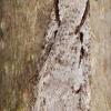 Semioscopis avellanella - Pilkasis semioskopis | Fotografijos autorius : Arūnas Eismantas | © Macrogamta.lt | Šis tinklapis priklauso bendruomenei kuri domisi makro fotografija ir fotografuoja gyvąjį makro pasaulį.