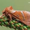 Triodia sylvina - Gelsvasis šakniagraužis | Fotografijos autorius : Arūnas Eismantas | © Macrogamta.lt | Šis tinklapis priklauso bendruomenei kuri domisi makro fotografija ir fotografuoja gyvąjį makro pasaulį.