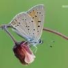Lycaena hippothoe - Žvilgantysis auksinukas | Fotografijos autorius : Arūnas Eismantas | © Macrogamta.lt | Šis tinklapis priklauso bendruomenei kuri domisi makro fotografija ir fotografuoja gyvąjį makro pasaulį.