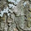 Pasiphila [=Rhinoprora] debiliata - Mėlyninė sprindenė | Fotografijos autorius : Arūnas Eismantas | © Macrogamta.lt | Šis tinklapis priklauso bendruomenei kuri domisi makro fotografija ir fotografuoja gyvąjį makro pasaulį.