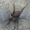 Pardosa paludicola - Liūninis šuolininkas | Fotografijos autorius : Arūnas Eismantas | © Macrogamta.lt | Šis tinklapis priklauso bendruomenei kuri domisi makro fotografija ir fotografuoja gyvąjį makro pasaulį.
