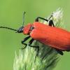 Pyrochroa coccinea - Paprastasis raudonvabalis | Fotografijos autorius : Arūnas Eismantas | © Macrogamta.lt | Šis tinklapis priklauso bendruomenei kuri domisi makro fotografija ir fotografuoja gyvąjį makro pasaulį.