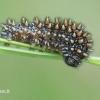 Melitaea diamina - Tamsioji šaškytė | Fotografijos autorius : Arūnas Eismantas | © Macrogamta.lt | Šis tinklapis priklauso bendruomenei kuri domisi makro fotografija ir fotografuoja gyvąjį makro pasaulį.