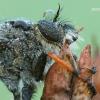Pamponerus germanicus - Plėšriamusė | Fotografijos autorius : Arūnas Eismantas | © Macrogamta.lt | Šis tinklapis priklauso bendruomenei kuri domisi makro fotografija ir fotografuoja gyvąjį makro pasaulį.