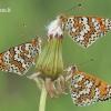 Melitaea cinxia - Rudgelsvė šaškytė | Fotografijos autorius : Arūnas Eismantas | © Macrogamta.lt | Šis tinklapis priklauso bendruomenei kuri domisi makro fotografija ir fotografuoja gyvąjį makro pasaulį.