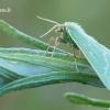 Thetidia [=Antonechloris] smaragdaria - Smaragdinis žaliasprindis | Fotografijos autorius : Arūnas Eismantas | © Macrogamta.lt | Šis tinklapis priklauso bendruomenei kuri domisi makro fotografija ir fotografuoja gyvąjį makro pasaulį.