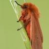 Rudoji meškutė - Phragmatobia fuliginosa  | Fotografijos autorius : Arūnas Eismantas | © Macrogamta.lt | Šis tinklapis priklauso bendruomenei kuri domisi makro fotografija ir fotografuoja gyvąjį makro pasaulį.
