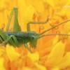 Tettigoniidae - Žiogas | Fotografijos autorius : Arūnas Eismantas | © Macrogamta.lt | Šis tinklapis priklauso bendruomenei kuri domisi makro fotografija ir fotografuoja gyvąjį makro pasaulį.