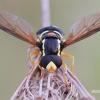 Xanthogramma citrofasciatum - Žiedmusė   Fotografijos autorius : Arūnas Eismantas   © Macrogamta.lt   Šis tinklapis priklauso bendruomenei kuri domisi makro fotografija ir fotografuoja gyvąjį makro pasaulį.