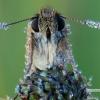 Thymelicus sylvestris - Raudonbuožis storgalvis | Fotografijos autorius : Arūnas Eismantas | © Macrogamta.lt | Šis tinklapis priklauso bendruomenei kuri domisi makro fotografija ir fotografuoja gyvąjį makro pasaulį.