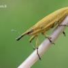 Lixus iridis - Maudinis stiebastraublis | Fotografijos autorius : Arūnas Eismantas | © Macrogamta.lt | Šis tinklapis priklauso bendruomenei kuri domisi makro fotografija ir fotografuoja gyvąjį makro pasaulį.