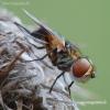 Dygliamusė - Ectophasia crassipennis  | Fotografijos autorius : Arūnas Eismantas | © Macrogamta.lt | Šis tinklapis priklauso bendruomenei kuri domisi makro fotografija ir fotografuoja gyvąjį makro pasaulį.