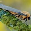 Lithosia quadra - Keturtaškė kerpytė | Fotografijos autorius : Arūnas Eismantas | © Macrogamta.lt | Šis tinklapis priklauso bendruomenei kuri domisi makro fotografija ir fotografuoja gyvąjį makro pasaulį.