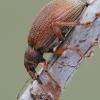 Polydrusus mollis - Smailiablauzdis lapinukas | Fotografijos autorius : Arūnas Eismantas | © Macrogamta.lt | Šis tinklapis priklauso bendruomenei kuri domisi makro fotografija ir fotografuoja gyvąjį makro pasaulį.