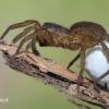 Pardosa sp. - Šuolininkas | Fotografijos autorius : Arūnas Eismantas | © Macrogamta.lt | Šis tinklapis priklauso bendruomenei kuri domisi makro fotografija ir fotografuoja gyvąjį makro pasaulį.