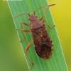 Rhopalus maculatus - Geltonpilvė kampuotblakė | Fotografijos autorius : Arūnas Eismantas | © Macrogamta.lt | Šis tinklapis priklauso bendruomenei kuri domisi makro fotografija ir fotografuoja gyvąjį makro pasaulį.