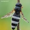 Cheilosia flavipes - Žalutė | Fotografijos autorius : Arūnas Eismantas | © Macrogamta.lt | Šis tinklapis priklauso bendruomenei kuri domisi makro fotografija ir fotografuoja gyvąjį makro pasaulį.