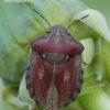 Eurygaster testudinaria - Lenktagalvė vėžliablakė | Fotografijos autorius : Arūnas Eismantas | © Macrogamta.lt | Šis tinklapis priklauso bendruomenei kuri domisi makro fotografija ir fotografuoja gyvąjį makro pasaulį.