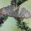 Eupithecia satyrata - Pilkasis sprindytis | Fotografijos autorius : Arūnas Eismantas | © Macrogamta.lt | Šis tinklapis priklauso bendruomenei kuri domisi makro fotografija ir fotografuoja gyvąjį makro pasaulį.