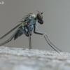 Medetera sp. - Ilgakojė muselė | Fotografijos autorius : Arūnas Eismantas | © Macrogamta.lt | Šis tinklapis priklauso bendruomenei kuri domisi makro fotografija ir fotografuoja gyvąjį makro pasaulį.
