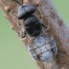Odontomyia argentata - Plokščiamusė | Fotografijos autorius : Arūnas Eismantas | © Macrogamta.lt | Šis tinklapis priklauso bendruomenei kuri domisi makro fotografija ir fotografuoja gyvąjį makro pasaulį.