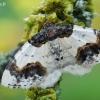 Ožekšninis margasprindis - Ligdia adustata | Fotografijos autorius : Arūnas Eismantas | © Macrogamta.lt | Šis tinklapis priklauso bendruomenei kuri domisi makro fotografija ir fotografuoja gyvąjį makro pasaulį.