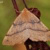 Rudasis rudeninis sprindžius - Colotois pennaria | Fotografijos autorius : Arūnas Eismantas | © Macrogamta.lt | Šis tinklapis priklauso bendruomenei kuri domisi makro fotografija ir fotografuoja gyvąjį makro pasaulį.