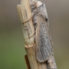 Nendrinis medgręžis - Phragmataecia castaneae  | Fotografijos autorius : Arūnas Eismantas | © Macrogamta.lt | Šis tinklapis priklauso bendruomenei kuri domisi makro fotografija ir fotografuoja gyvąjį makro pasaulį.