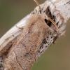 Grakštusis ankstyvasis pelėdgalvis - Orthosia cerasi | Fotografijos autorius : Arūnas Eismantas | © Macrogamta.lt | Šis tinklapis priklauso bendruomenei kuri domisi makro fotografija ir fotografuoja gyvąjį makro pasaulį.