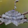 Pilkasis miškasprindis - Macaria alternata  | Fotografijos autorius : Arūnas Eismantas | © Macrogamta.lt | Šis tinklapis priklauso bendruomenei kuri domisi makro fotografija ir fotografuoja gyvąjį makro pasaulį.