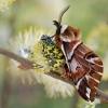 Keršasparnis verpikas - Endromis versicolora | Fotografijos autorius : Arūnas Eismantas | © Macrogamta.lt | Šis tinklapis priklauso bendruomenei kuri domisi makro fotografija ir fotografuoja gyvąjį makro pasaulį.