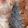 Ankstyvasis sprindžius - Alsophila aescularia | Fotografijos autorius : Arūnas Eismantas | © Macrogamta.lt | Šis tinklapis priklauso bendruomenei kuri domisi makro fotografija ir fotografuoja gyvąjį makro pasaulį.